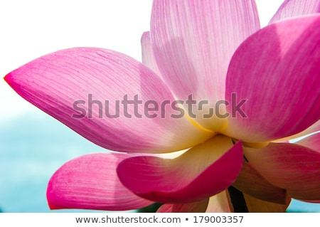 lotus flower close up stock photo © mikko