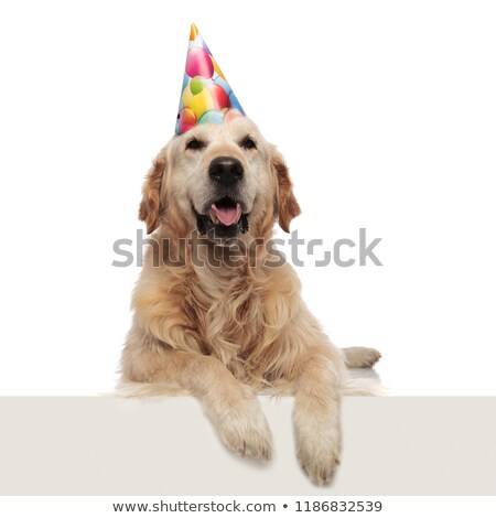 excited labrador with mouth open and birthday cap looks up stock photo © feedough