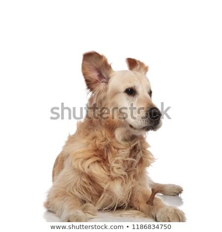 golden · retriever · brinquedo · jovem · cão · retrato · osso - foto stock © feedough