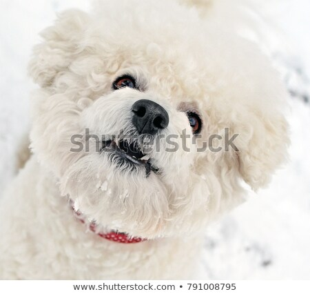 Close up of expressive white bichon frise  Stock photo © tilo