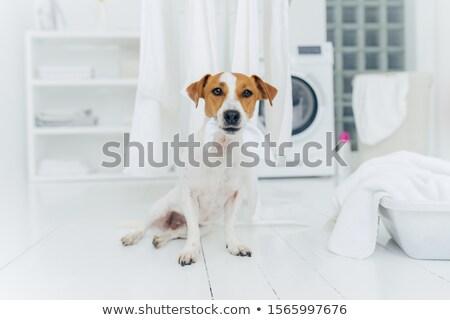 Bent lövés kicsi kutya fehér vászon Stock fotó © vkstudio