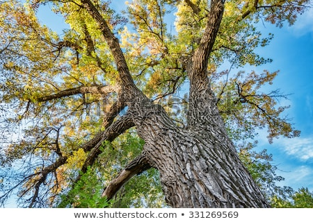 Stately trunk of a Cottonwood tree Stock photo © rcarner