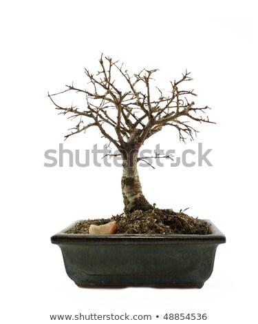 盆栽 葉 暗い 裸 支店 ストックフォト © DedMorozz