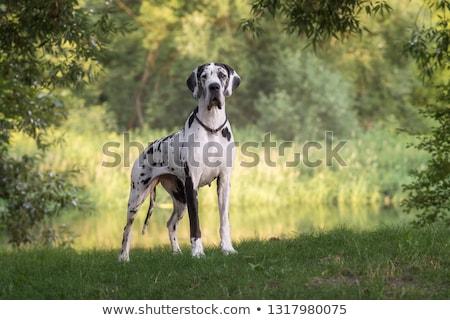 cão · sessão · isolado · branco · azul - foto stock © eriklam