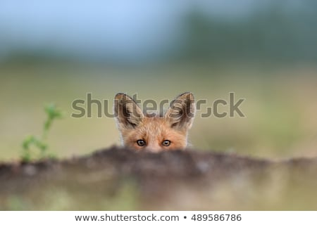 Piros róka medvebocs rejtőzködik mögött madár Stock fotó © suerob