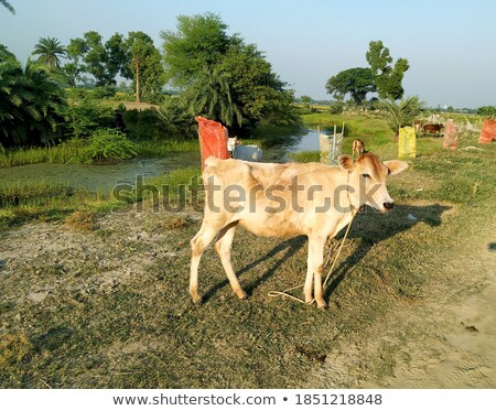 cow standing beside a lake stock photo © rhamm