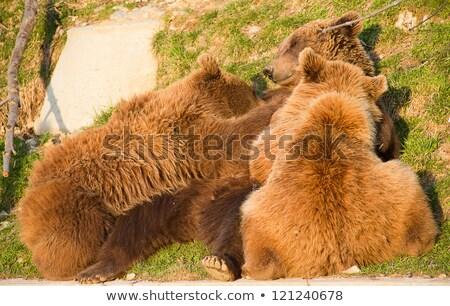 Brown bear cub in bear park of Bern, Switzerland Stock photo © dacasdo