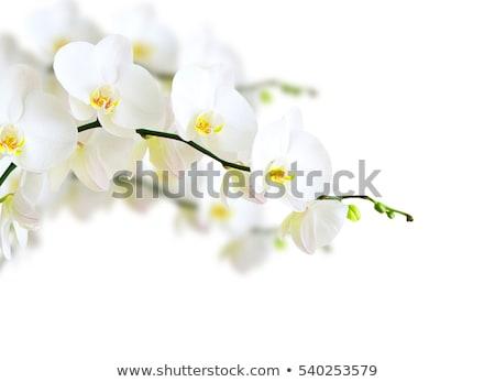 розовый орхидеи белый природы лет красивой Сток-фото © Wikki