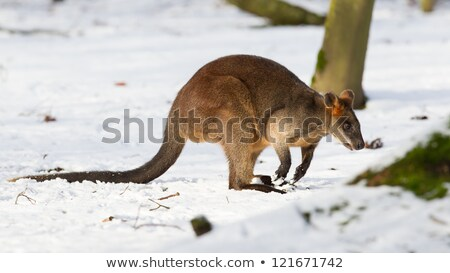 Parma wallaby in the snow Stock photo © michaklootwijk