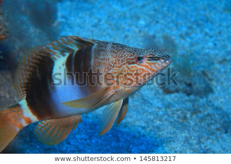 Serranus Scriba fish Painted Comber Stock photo © lunamarina