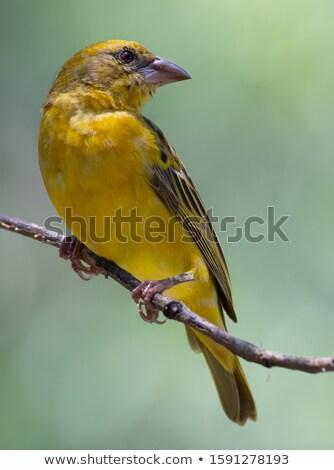 citromsárga · vad · madár · Afrika · fa · fekete - stock fotó © Livingwild