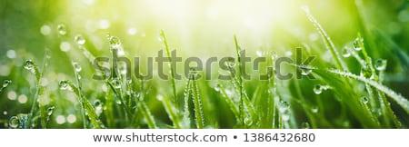 friss · fű · cseppek · harmat · fény · zöld - stock fotó © mycola