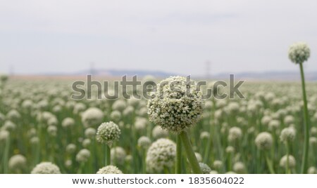 Onion vegetable Stock photo © natika