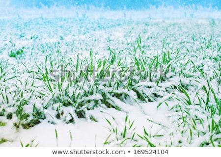 зеленый · сельскохозяйственный · области · расти · вверх · трава - Сток-фото © meinzahn