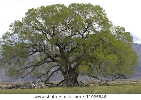 ölü ağaç yırtılmış dışarı havlama fırtınalı Stok fotoğraf © PixelsAway
