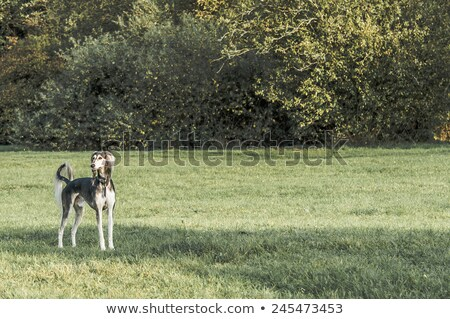 The portrait of Saluki dog on a green grass lawn Stock photo © CaptureLight