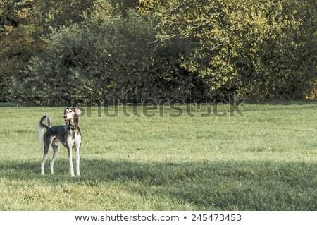 toro · terrier · museruola · bianco · maschio · pet - foto d'archivio © capturelight