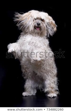 lovely long hair Shi-Tzu in a white background Stock photo © vauvau