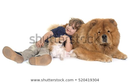 chow chow, chihuahua and little boy Stock photo © cynoclub