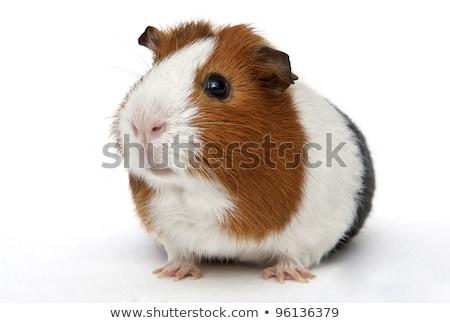 guinea pig isolated on the white background stock photo © joannawnuk