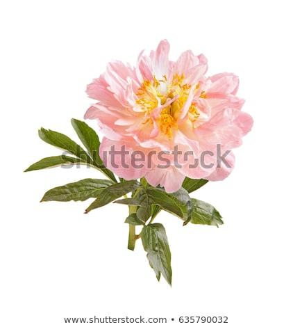 common peony flower stock photo © boggy