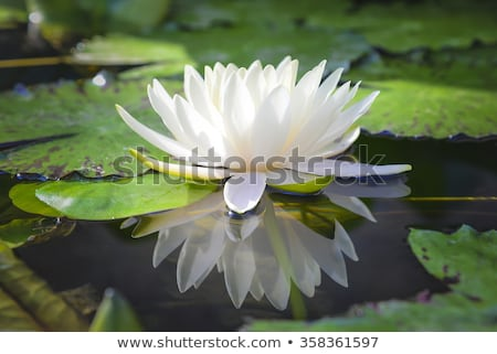 White lotus flower in a pool Stock photo © jomphong