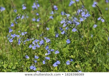 Mavi çiçek yaprak bahçe güzellik yaz yeşil Stok fotoğraf © Arrxxx