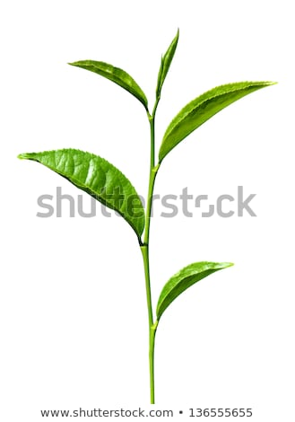 Single young branch with green leaf Stock photo © boroda