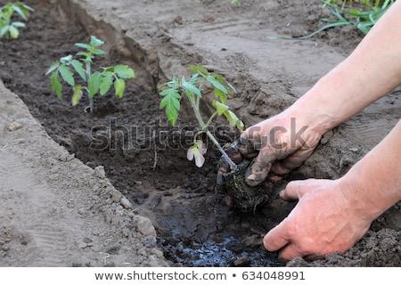 томатный растений подробный мнение рук цветок Сток-фото © frank11