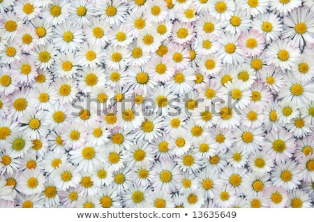 Camomile textured background with a lot of flowers Stock photo © aniriana