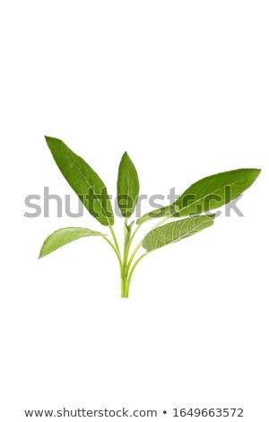 Salvia bianco isolato alimentare natura Foto d'archivio © Antonio-S