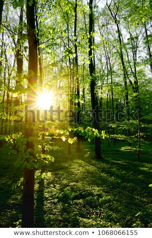 Sunlight in the green forest stock photo © azjoma