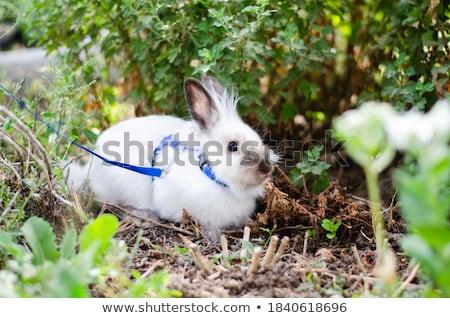 tavşan · şapka · yalıtılmış · beyaz · tavşan · siyah - stok fotoğraf © zzve