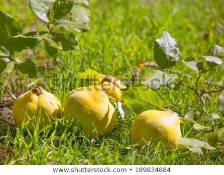 айва фрукты изображение зеленая трава природы Открытый Сток-фото © lunamarina
