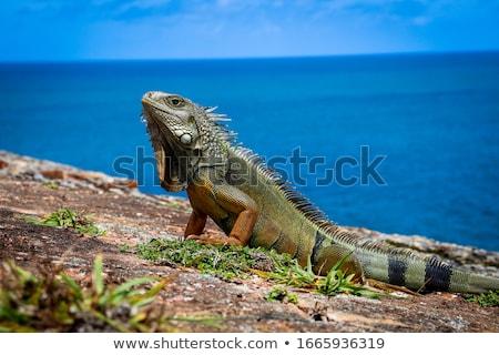 water · monitor · hagedis · natuur · achtergrond · lopen - stockfoto © vividrange