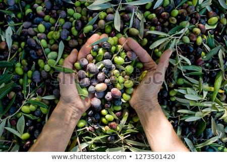 aceitunas · cosecha · manos · mediterráneo · guantes - foto stock © nito