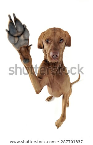 Hungarian Vizsla give a 5 in white studio Stock photo © vauvau