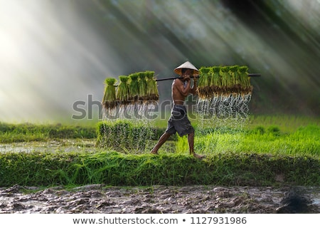 Mező rizs palánták Kína vidék fű Stock fotó © raywoo
