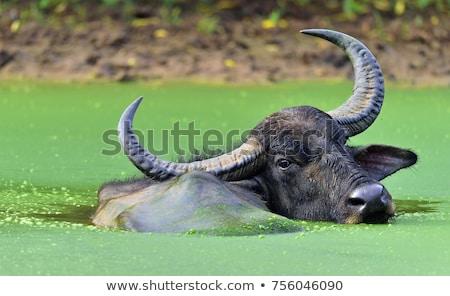 Buffalo the water Stock photo © Hofmeester