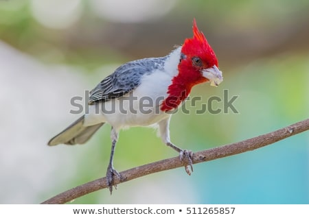 red crested cardinal paroaria coronata stock photo © dirkr
