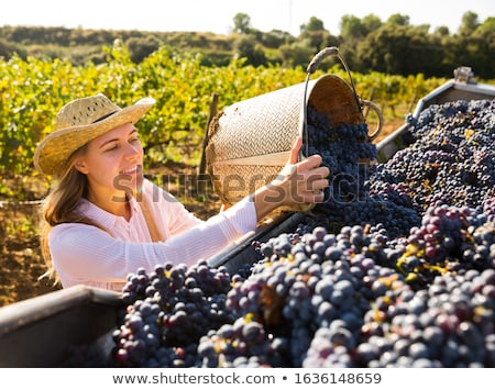 Stock photo: Vineyard Harvest