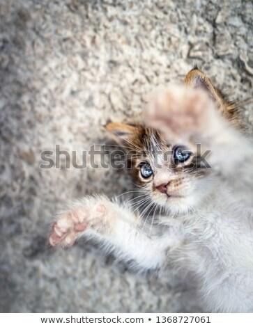 Китти · мало · кошки · играет · ковер - Сток-фото © anna_om