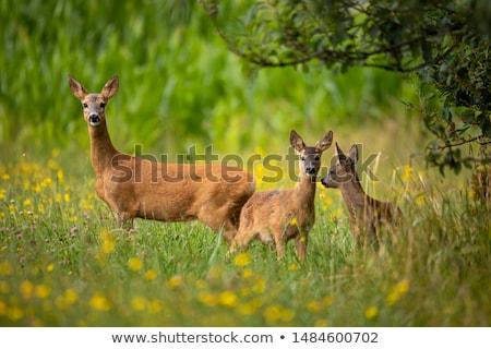 Fila cervo famiglia prato Foto d'archivio © artush