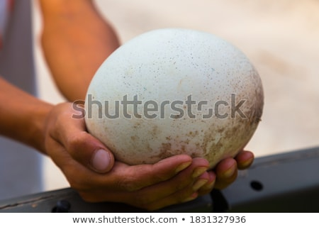 Ostrich and female hands Stock photo © olira