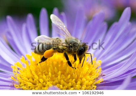 Bee verzamelen nectar bloem honingbij paars Stockfoto © manfredxy