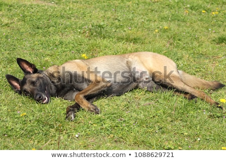 tired belgian shepherd Stock photo © cynoclub