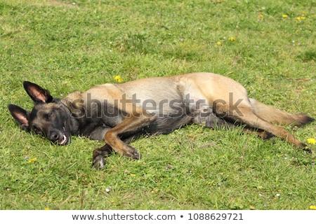 owczarek · belgijski · psa · posiedzenia · odizolowany · biały · portret - zdjęcia stock © cynoclub