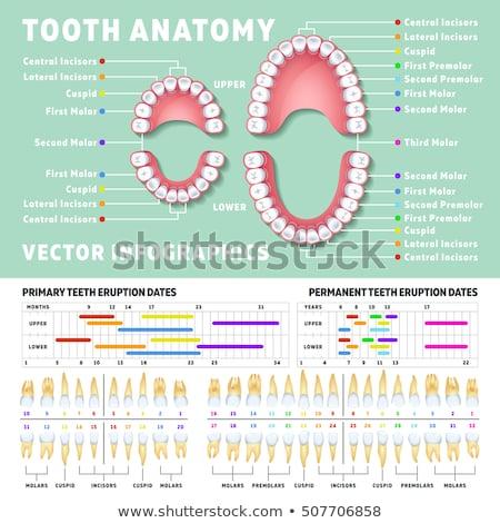 Diente anatomía cuerpo boca dientes limpieza Foto stock © JanPietruszka