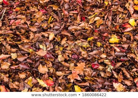 Autumn/fall foliage. stock photo © Dizski