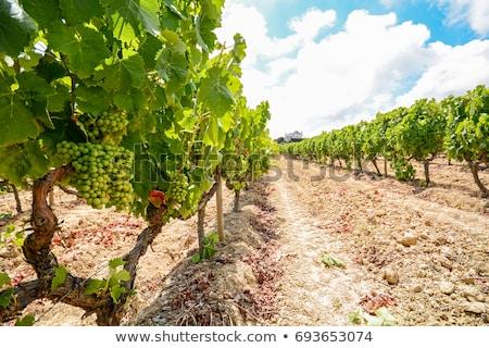 виноградник юг Португалия регион небе цветок Сток-фото © inaquim